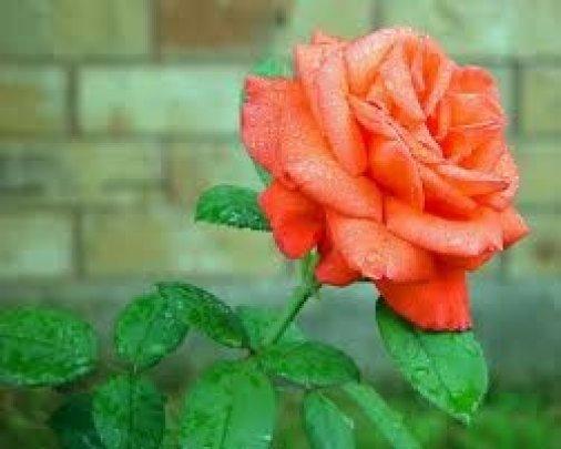 Біля обласної лікарні цвістимуть 300 кущів троянд