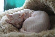Один из уникальных представителей голых кошек - сфинкс