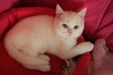 Белоснежный котенок скотиш страйт