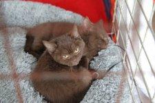 Элитные шоколадные котята-британцы