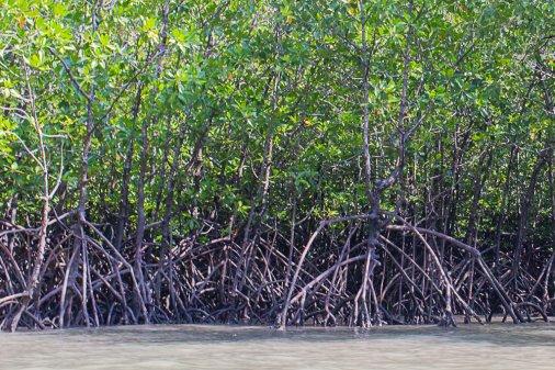 Удивительные мангры