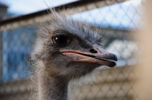 Великі дзьоби, пухнасті крила і швидкі лапи – страуси заворожують!