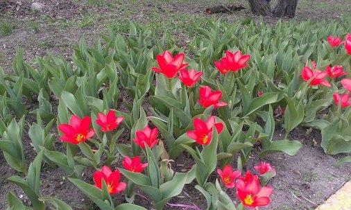 У Дендропарку почали цвісти тюльпани