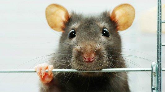 Добросердечні кіровоградці відгодовують... щурів