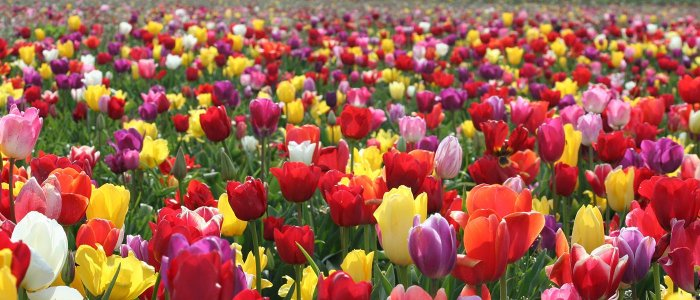Грандіозне цвітіння тюльпанів-2016