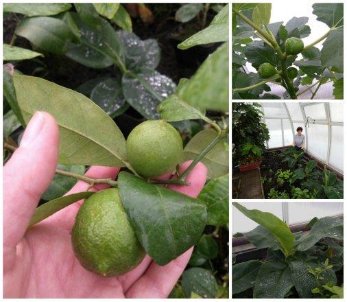 Банани, лимони та інжир вирощують у Чорноліському лісгоспі