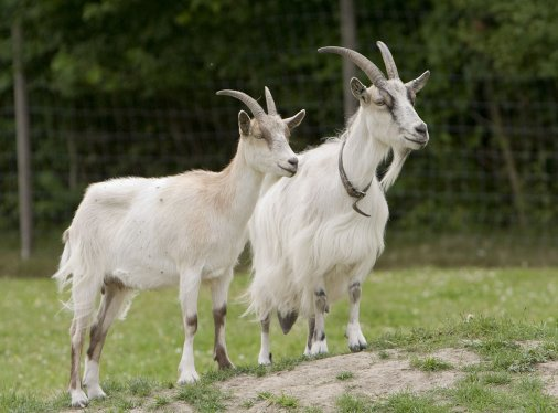 Історія про те як кози новим «жигульом» подорожували