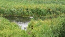 По сусідству з озером - на річці Інгулець - живуть лебеді